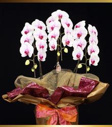 白赤の胡蝶蘭