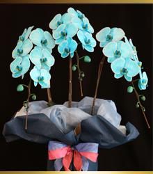 季節限定の胡蝶蘭