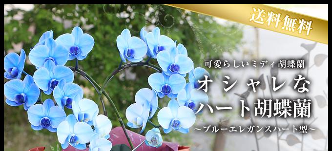 リング型青いミディ胡蝶蘭(ブルーエレガンス)2本立