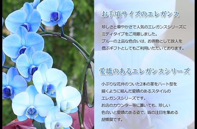 珍しさと華やかさで人気のエレガンスシリーズにミディタイプをご用意しました。ブルーの上品な色合いは、お供物として故人を偲ぶギフトとしてもご利用いただいております。小ぶりな花弁のついた2本の茎を円を描くように組んだ愛嬌のあるスタイルのエレガンスシリーズです。お店のカウンター等に置いても、珍しい色合いと愛嬌のある姿で、皆の注目を集める胡蝶蘭です。