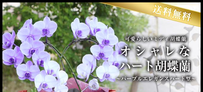 ハート型紫のミディ胡蝶蘭(パープルエレガンス)2本立