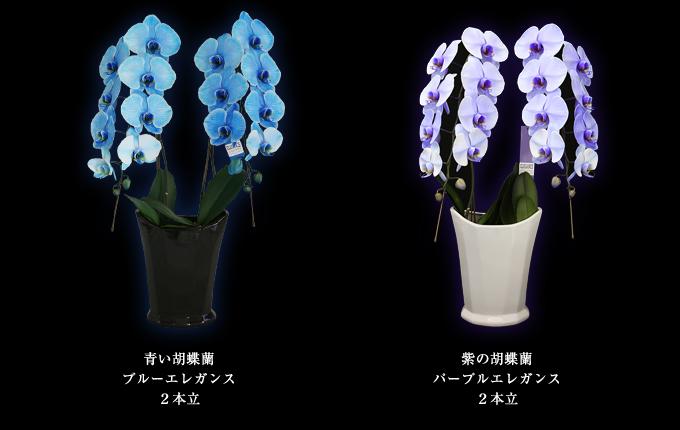 青い胡蝶蘭~ブルーエレガンス2本立ち&紫の胡蝶蘭~パープルエレガンス2本立ち