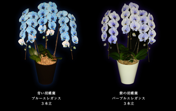 青い胡蝶蘭~ブルーエレガンス3本立ち&紫の胡蝶蘭~パープルエレガンス3本立ち