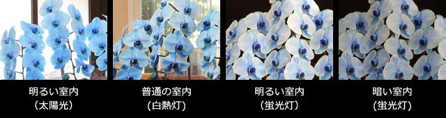 青い胡蝶蘭~色合いについて~照明・置き場所による違い