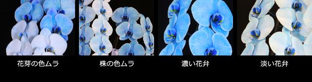 青い胡蝶蘭~色合いについて~色ムラ