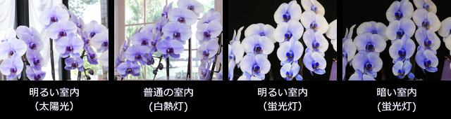 紫の胡蝶蘭~色合いについて~照明・置き場所による違い