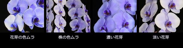 紫の胡蝶蘭~色合いについて~色ムラ