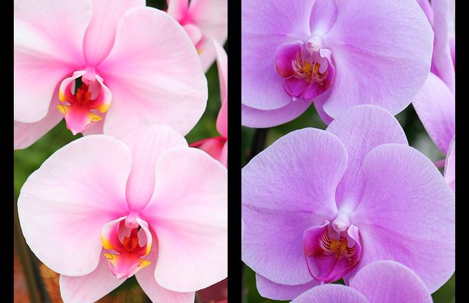 吸い上げ染色の胡蝶蘭と吸い上げ染色でない胡蝶蘭の違い
