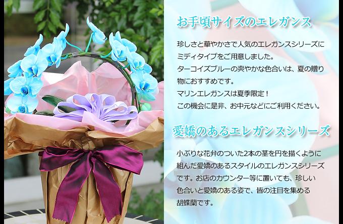 珍しさと華やかさで人気のエレガンスシリーズにミディタイプをご用意しました。マリンの上品な色合いは、蘭の好きなあの人の誕生日に、ちょっと珍しいサプライズプレゼントはいかがですか?小ぶりな花弁のついた2本の茎を円を描くように組んだ愛嬌のあるスタイルのエレガンスシリーズです。お店のカウンター等に置いても、珍しい色合いと愛嬌のある姿で、皆の注目を集める胡蝶蘭です。