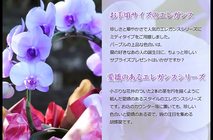 珍しさと華やかさで人気のエレガンスシリーズにミディタイプをご用意しました。パープルの上品な色合いは、蘭の好きなあの人の誕生日に、ちょっと珍しいサプライズプレゼントはいかがですか?小ぶりな花弁のついた2本の茎を円を描くように組んだ愛嬌のあるスタイルのエレガンスシリーズです。お店のカウンター等に置いても、珍しい色合いと愛嬌のある姿で、皆の注目を集める胡蝶蘭です。