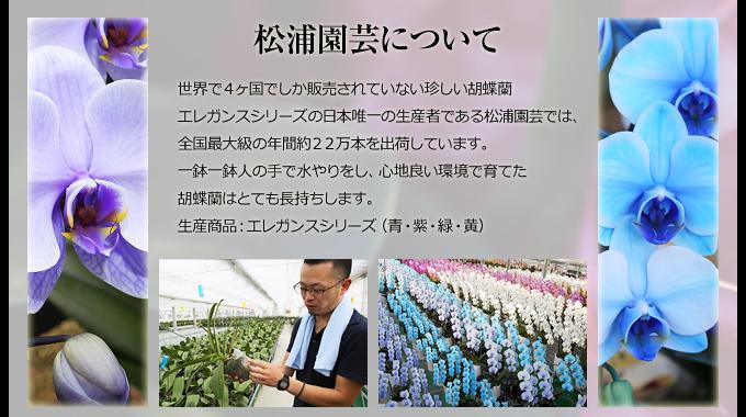 世界で4ヶ国でしか販売されていない珍しい胡蝶蘭エレガンスシリーズの日本唯一の生産者である松浦園芸では、全国最大級の年間約22万本を出荷しています。一鉢一鉢人の手で水やりをし、心地良い環境で育てた胡蝶蘭はとても長持ちします。生産商品:エレガンスシリーズ(青・紫・緑・黄)