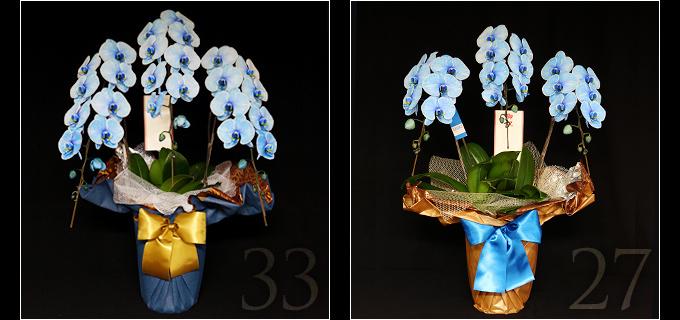 33輪の青い胡蝶蘭は見る人を圧倒するボリュームがあり27輪の胡蝶蘭と比べると、一際目を引きます。叙勲・褒章祝い、就任・昇進祝いにおすすめです。