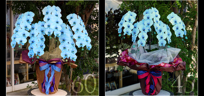 60輪の青い胡蝶蘭は見る人を圧倒するボリュームがあり45輪の胡蝶蘭と比べると、一際目を引きます。叙勲・褒章祝い、就任・昇進祝いにおすすめです。