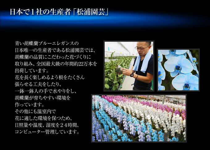 青い胡蝶蘭『プレミアムプレミアムブルーエレガンス』の日本唯一の生産者である松浦園芸