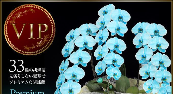 33輪の胡蝶蘭 見る人を圧倒するプレミアムな胡蝶蘭VIP