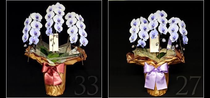 33輪の紫の胡蝶蘭は見る人を圧倒するボリュームがあり27輪の胡蝶蘭と比べると、一際目を引きます。叙勲・褒章祝い、就任・昇進祝いにおすすめです。