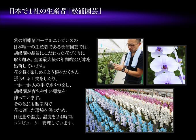 紫の胡蝶蘭『プレミアムプレミアムパープルエレガンス』の日本唯一の生産者である松浦園芸