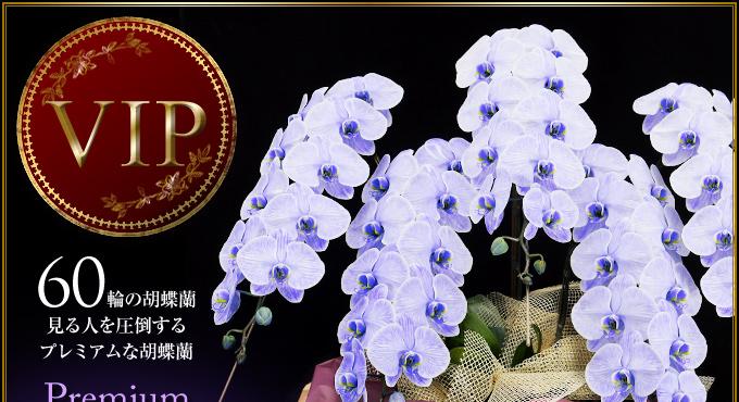 60輪の胡蝶蘭 見る人を圧倒するプレミアムな胡蝶蘭VIP