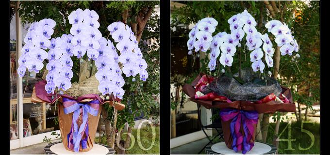 60輪の紫の胡蝶蘭は見る人を圧倒するボリュームがあり45輪の胡蝶蘭と比べると、一際目を引きます。叙勲・褒章祝い、就任・昇進祝いにおすすめです。