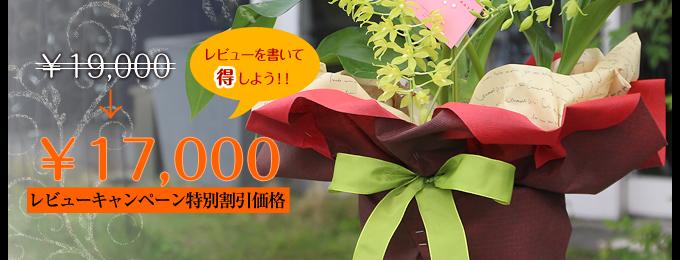 夏季限定 夏に咲く珍しい蘭鉢 グラマトフィラム