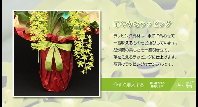 ラッピング資材は、季節に合わせて一番映えるものをお選びしています。胡蝶蘭の美しさを一層引き立て、華をそえるラッピングに仕上げます。写真のラッピングはサンプルです。