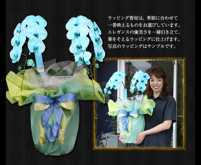 青緑の胡蝶蘭のサイズ