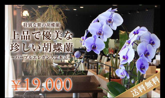 特別な紫の胡蝶蘭パープルエレガンス2本立
