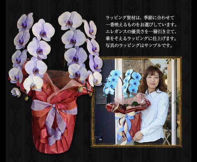 紫の胡蝶蘭のサイズ