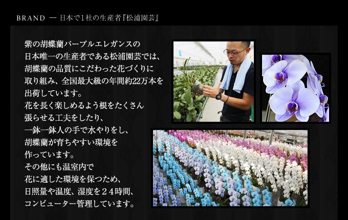 パープルエレガンス日本で1社の松浦園芸