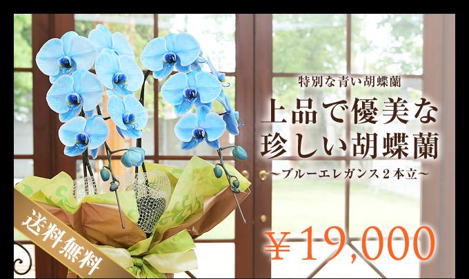 特別な青い胡蝶蘭ブルーエレガンス2本立