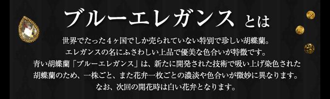世界で4ヶ国でしか販売していないエレガンスシリーズ上品で優美な色合いの胡蝶蘭ブルーエレガンス