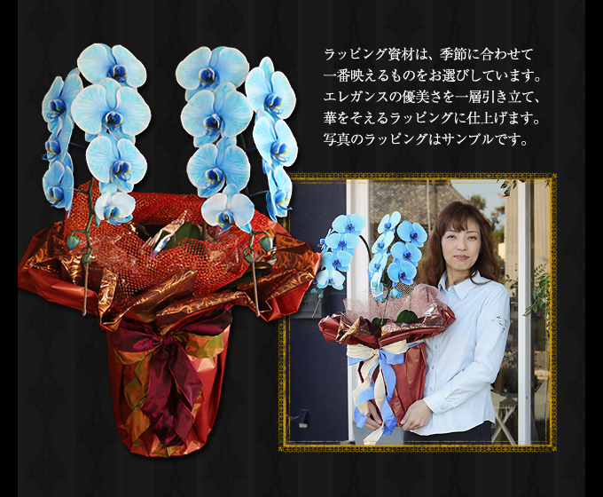 青い胡蝶蘭のサイズ