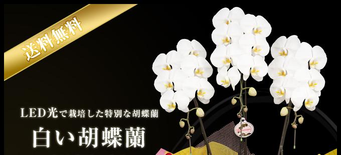 LED光で栽培した特別な胡蝶蘭白い胡蝶蘭産地直送3本立