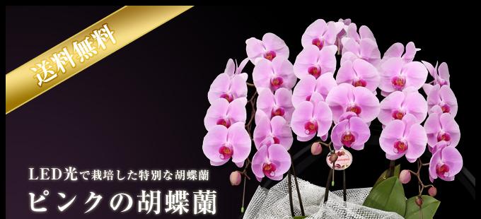 LED光で栽培した特別な胡蝶蘭ピンクの胡蝶蘭産地直送3本立