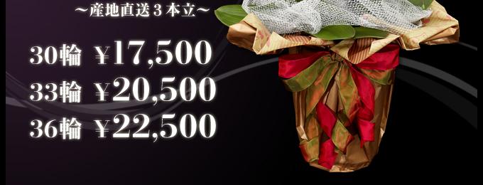LED栽培で多輪化&高寿命LED光で栽培した特別な胡蝶蘭ピンクの胡蝶蘭産地直送3本立