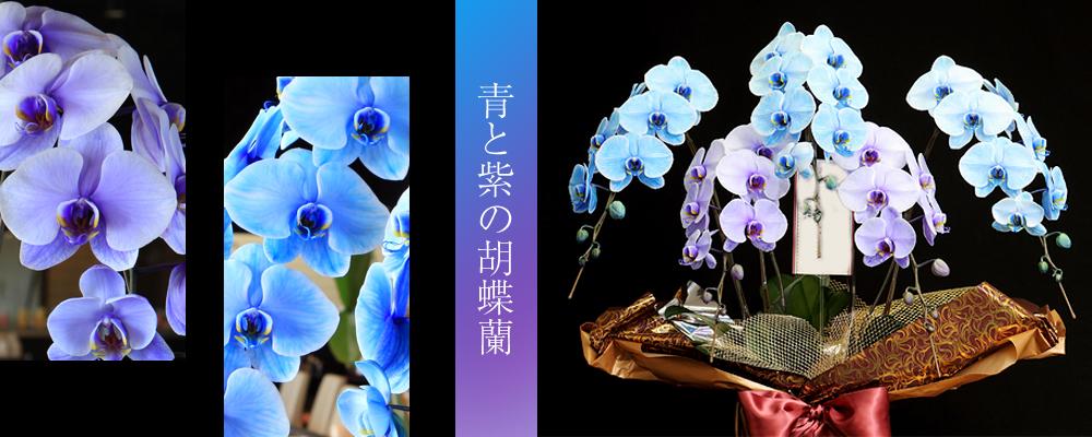 青と紫の胡蝶蘭