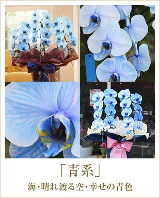 青い胡蝶蘭ブルーエレガンス