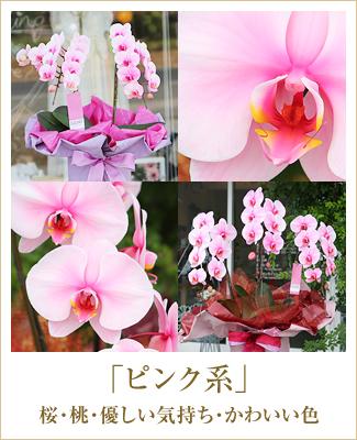 ピンク胡蝶蘭ピンクエレガンス