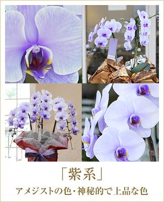 紫の胡蝶蘭パープルエレガンス