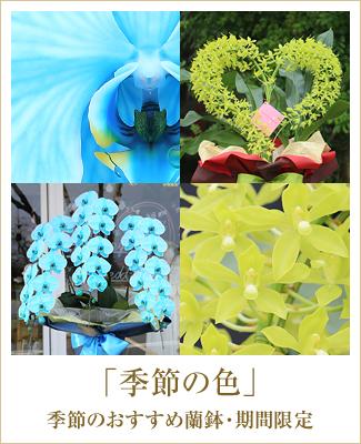 期間限定季節のおすすめ胡蝶蘭