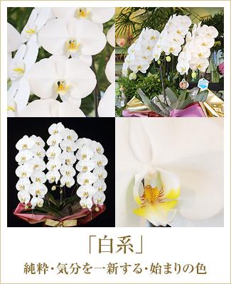 白い胡蝶蘭LED栽培