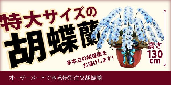 10本立・多本立胡蝶蘭お届けします