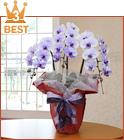 27輪紫の胡蝶蘭3本立送料無料