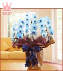 青い胡蝶蘭3本立