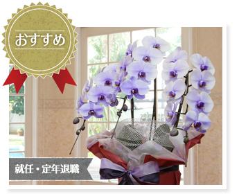 スタッフ一押しギフト『紫の胡蝶蘭~パープルエレガンス~開店や開業にオススメ』