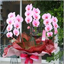 ピンクの胡蝶蘭ピンクエレガンス3本立