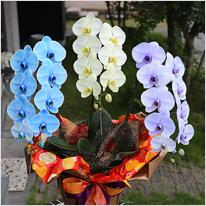 3色胡蝶蘭サプライズエレガンス3本立