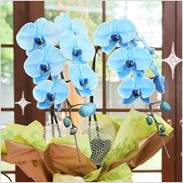 青い胡蝶蘭ブルーエレガンス2本立