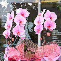 ピンクの胡蝶蘭ピンクエレガンス2本立