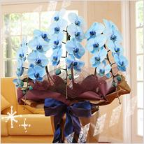 青い胡蝶蘭ブルーエレガンス3本立